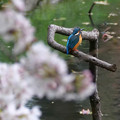 Photos: 背な桜