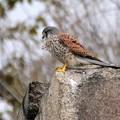 Photos: Falcon