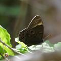 黒い蝶のサンバ