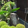 Photos: 芭蕉の花