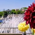 Photos: DSC09544-01町田ダリア園