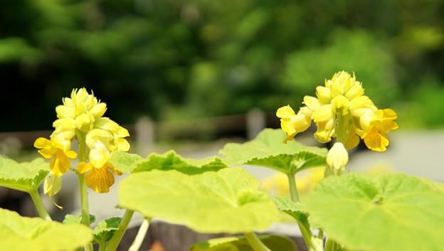 箱根湿生花園DSC09908-01