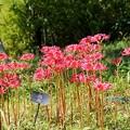 Photos: DSC00514-01花菜ガーデン