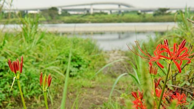 相模川ローズガーデンDSC00757-01