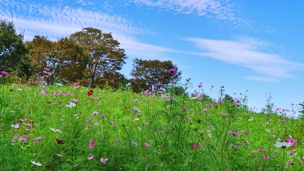 秋空と秋桜の丘