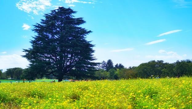 木と黄色の秋桜畑