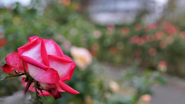遠きバラを眺めて