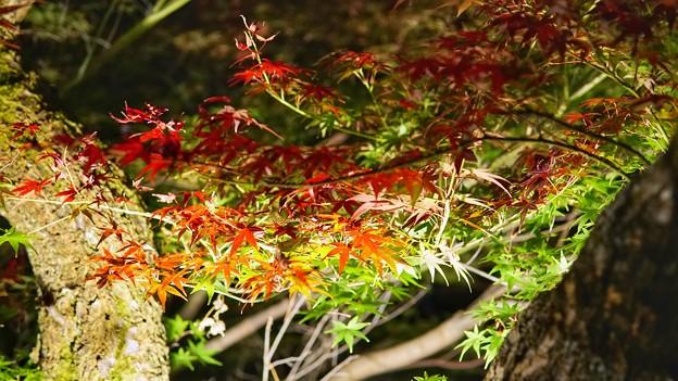 熱海梅園紅葉まつり4