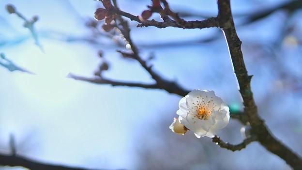 TON02705-01小田原フラワーG梅まつり