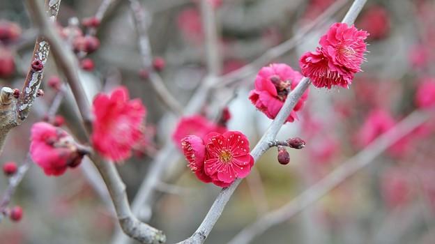 Photos: TON03032-真っ赤な紅梅に