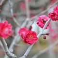 写真: TON03032-真っ赤な紅梅に
