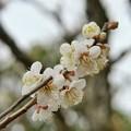 田舎の梅の木-01