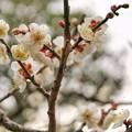 田舎の梅の木-02