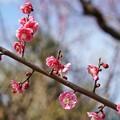 Photos: TON03369-01郷土の森梅まつり