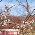 Photos: TON03375-01郷土の森梅まつり