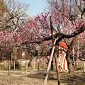Photos: TON03403-01郷土の森梅まつり