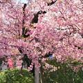 TON03775-01安行桜と花桃の旅