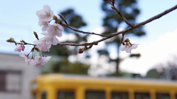 TON04030-01小金井公園桜まつり