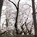 Photos: TON04033-01小金井公園桜まつり