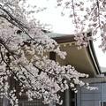 TON04035-01小金井公園桜まつり