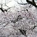 Photos: TON04041-01小金井公園桜まつり