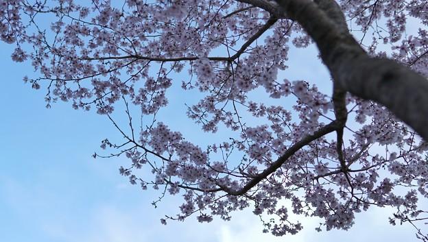 TON04044-01小金井公園桜まつり