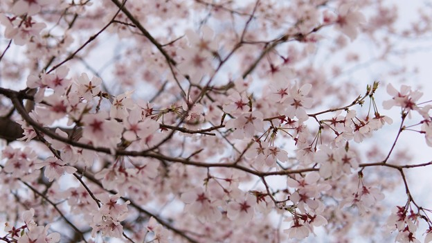 TON04047-01小金井公園桜まつり