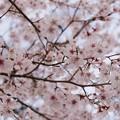 Photos: TON04047-01小金井公園桜まつり