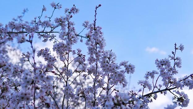 TON04053-01小金井公園桜まつり