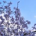 Photos: TON04053-01小金井公園桜まつり
