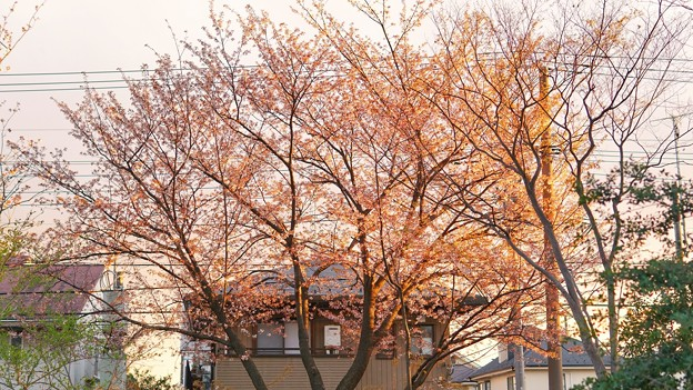 TON04069-01小金井公園桜まつり