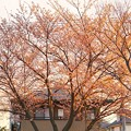 Photos: TON04069-01小金井公園桜まつり