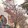 Photos: TON04071-01小金井公園桜まつり