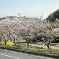 Photos: TON04152-01花畑と桜並木と伊豆の旅
