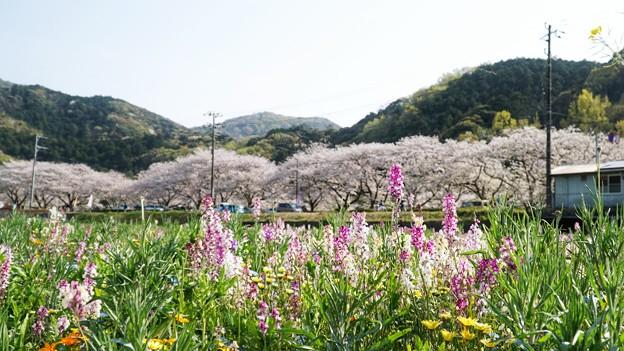 TON04163-01花畑と桜並木と伊豆の旅