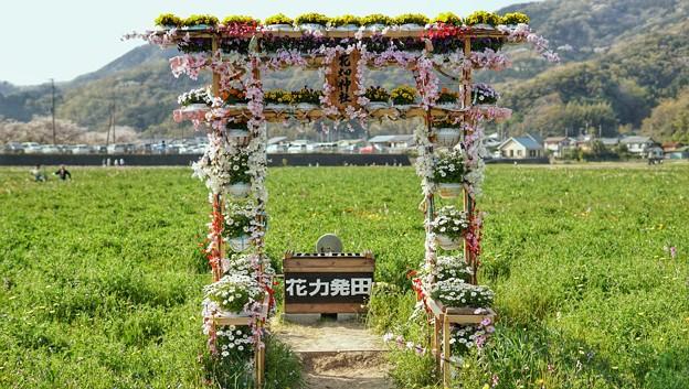 TON04172-01花畑と桜並木と伊豆の旅