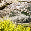 Photos: TON04182-01花畑と桜並木と伊豆の旅