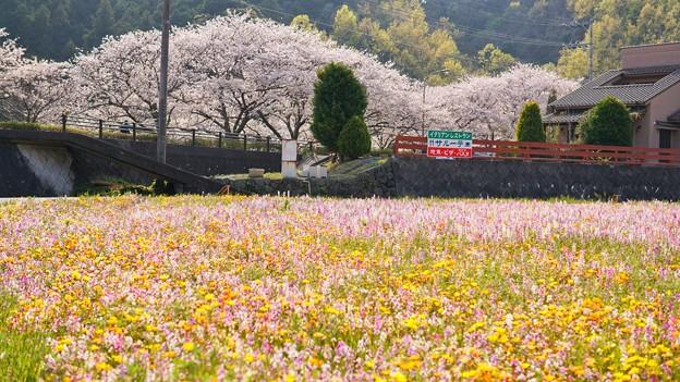 TON04192-01花畑と桜並木と伊豆の旅