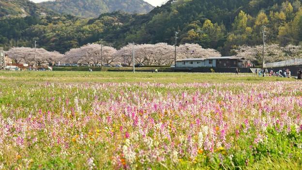 TON04208-01花畑と桜並木と伊豆の旅