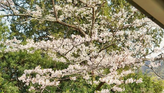TON04226-01花畑と桜並木と伊豆の旅