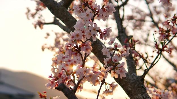 TON04273-01花畑と桜並木と伊豆の旅
