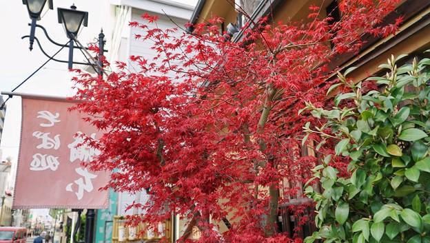 TON04316小田原城址公園の桜