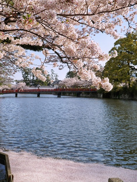TON04323小田原城址公園の桜