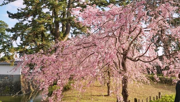 TON04345小田原城址公園の桜