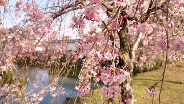 TON04346小田原城址公園の桜