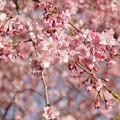 TON04348小田原城址公園の桜