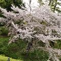 TON04356小田原城址公園の桜