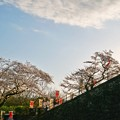 TON04369小田原城址公園の桜