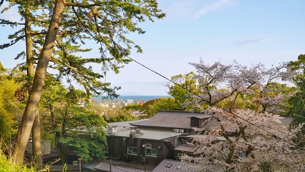 TON04373小田原城址公園の桜