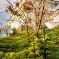 Photos: TON04375小田原城址公園の桜
